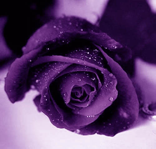 Valentines-day-Purple-Roses